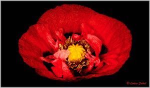 Fresh Rain On An Old Poppy I by lukias-saikul