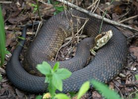 Cottonmouth by deseonocturno