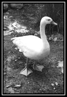 Swan by antiemo