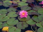 water lily by btwmickeylol