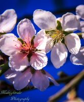 A Blossom for Lucila... by midnightrider79