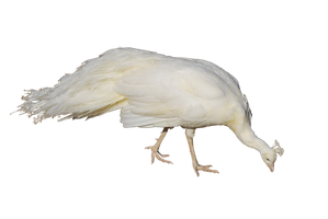 Albino Peafowl Png by thatoneangelfish