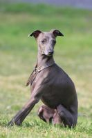 Mini sighthound by SaNNaS