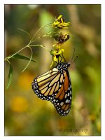 Monarch - 1 by bp2007