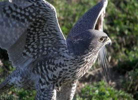 Gyrfalcon With Wings Spread by Ciameth