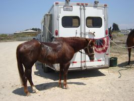American Horse Stock by Amor-Fati-Stock