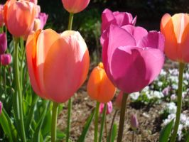 Pink And Orange Tulips by aragornsparrow