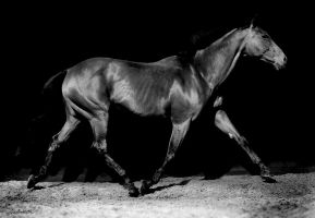 Thoroughbred by lovewisely