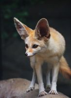 Fennec Fox Once More by ShutterSerpent