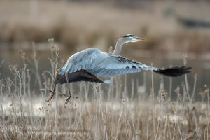 Heron Flight by CharlesWb