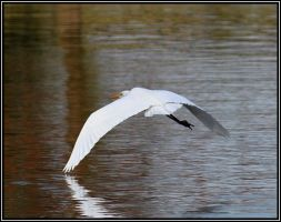 Egret in Flight by SalemCat
