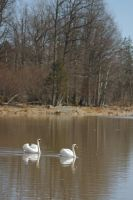 Pair of swans by perost
