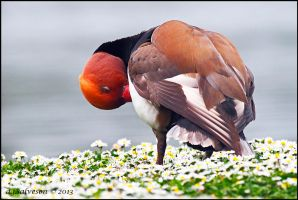 Red Crested Pochard In The Dasies. by andy-j-s
