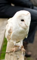 Barn Owl by Sato-photography