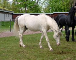 White andalusian stock 1 by da-toss-stock