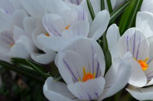Crocus by coffeenoir