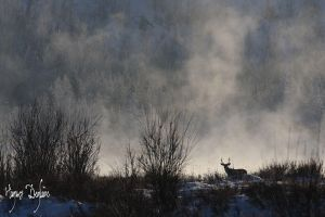 Mule Deer in the riverbank by Robin-Hugh
