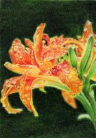 SOLD - Drawn to Help 4.3: Lilium by theperian