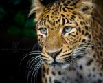 Chinese Panther III by darkcalypso