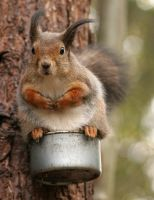 Squirrel on tin: Autumn wind 1 by TomiTapio