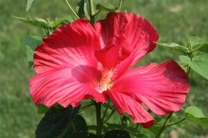 Hibiscus 5 by ma8201