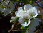 Pear Blossoms 0724 by Onatopa