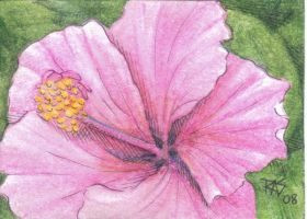 ACEO Hibiscus by robertsloan2