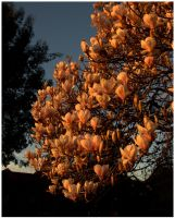 Her Magnificence Magnolia 1 by Isyala