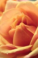 rose1 by scata