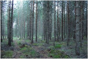 BG Pine Forest I by Eirian-stock
