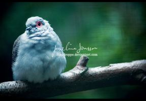 _dove. by Bloddroppe-nature