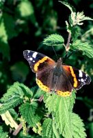 Red Admiral Butterfly by April-Snowflake