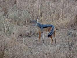 Black-Backed Jackal I by Track-Maidens