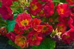 Fiery Primroses by zasu
