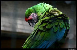 Military macaw by Lunchi