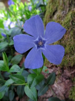 Vinca major by shokisan