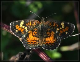 Phaon Crescent 40D0001180 by Cristian-M