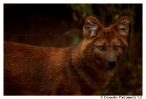 Dhole Portrait by TVD-Photography