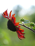 Red sunflower profile by Mogrianne