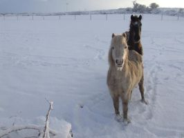 Ponies in the snow. by kaelby