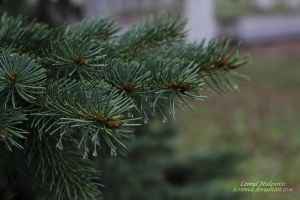 spruce needles by leonmuk