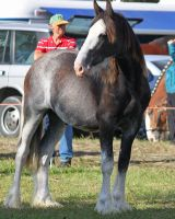 Clydesdale tack removed by Sooty-Bunnie