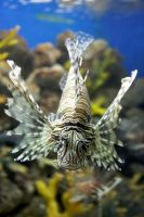 Lion Fish by tummy31