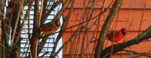 Cardinal Couple 3 by tastybedsore