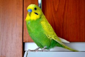 My budgie Bert 2. by Verenique