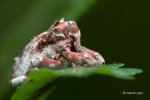 Weevil by melvynyeo