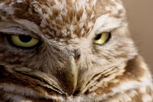 Burrowing Owl: close up by gwegowee