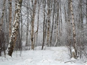 Winter forest 600 by MASYON