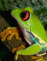 Red-Eye Tree Frog by Digital-Eyes
