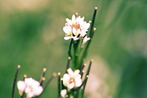 Tiny Lawn Posys by Phr0sty